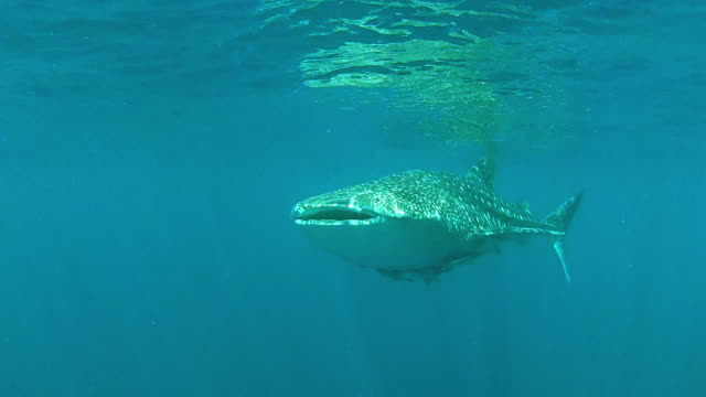 a whale shark swimming beneath the oceans surface - baleine stock videos & royalty-free footage