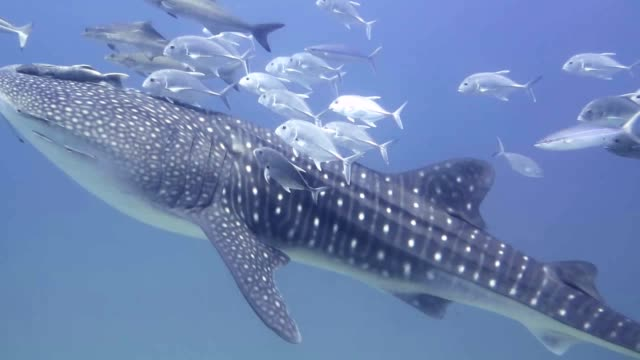 whale shark swimming climb to the surface - wildlife stock videos & royalty-free footage