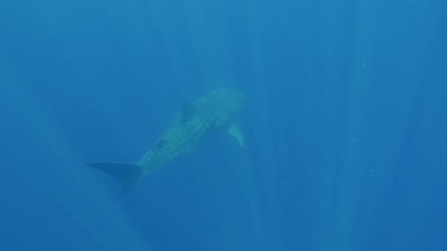 whale shark swimming in sun rays, indian ocean, sri lanka. - sea life stock videos & royalty-free footage