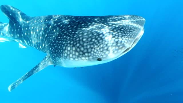 whale shark swimming in the ocean - walhai stock-videos und b-roll-filmmaterial