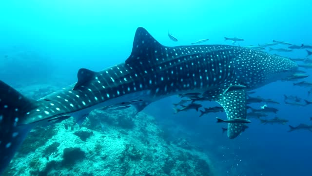 whale shark swimming near surface with remora and cobia fish, losin island, thailand - shark stock videos & royalty-free footage
