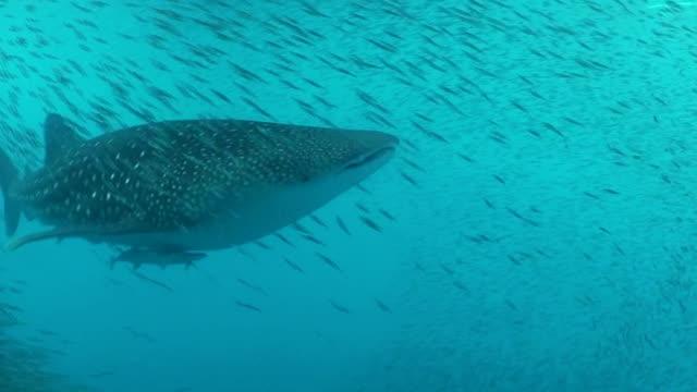 stockvideo's en b-roll-footage met whale shark swimming through a very large school of bait fish, cenderawasih bay, indonesia. - vachtpatroon