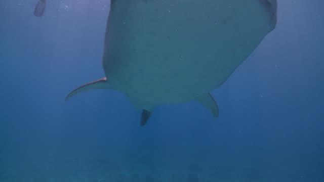 whale shark (rhincodon typus) swimming to camera, maamigili, south ari atoll, the maldives - ari atoll stock videos & royalty-free footage