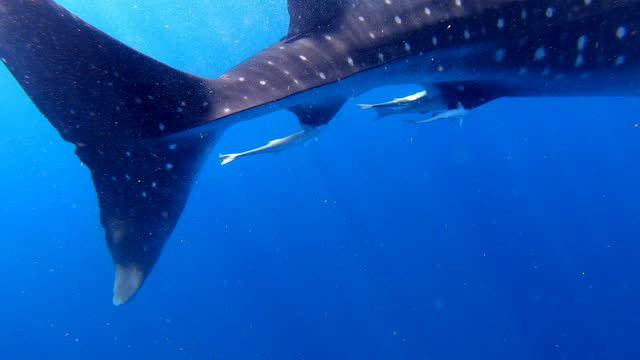 whale shark swimming underwater in blue ocean - cancun, mexico - animal colour stock videos & royalty-free footage