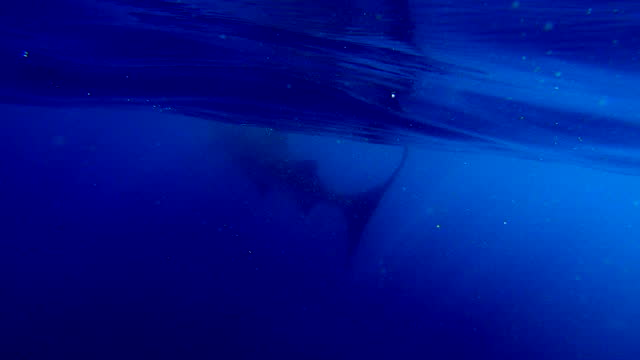 whale shark swimming underwater in deep blue sea - cancun, mexico - animal colour stock videos & royalty-free footage