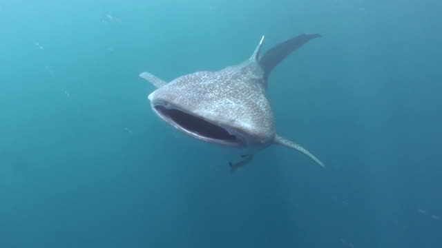 whale shark swims across in front of the camera with it's mouth open, west papua, indonesia. - maul stock-videos und b-roll-filmmaterial