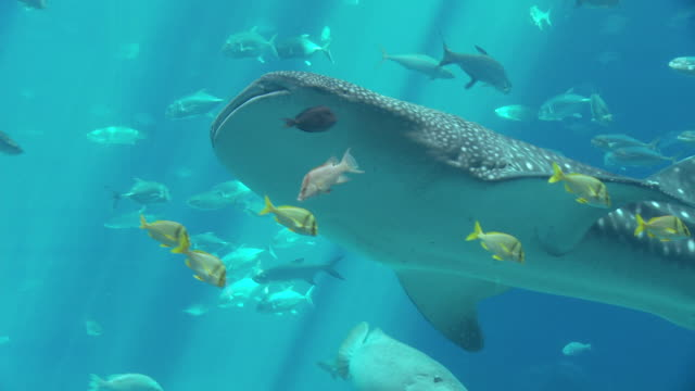 A whale shark swims among other fish.