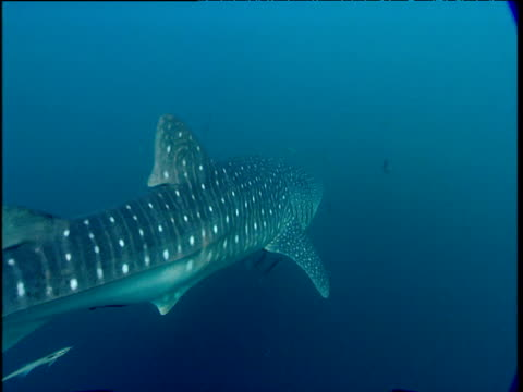 Whale shark swims from camera, Phuket