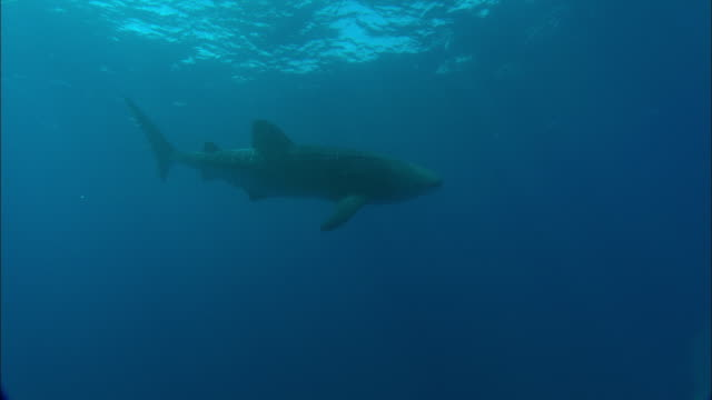 whale shark (rhincodon typus) swims in atlantic, ascension island - walhai stock-videos und b-roll-filmmaterial
