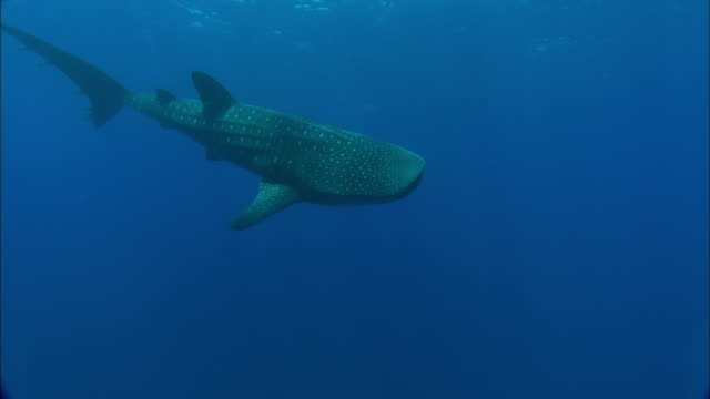 Whale shark (Rhincodon typus) swims in Atlantic, Ascension Island