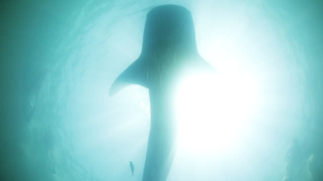 whale shark swims in mexico, low angle pov - walhai stock-videos und b-roll-filmmaterial