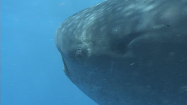 whale shark (rhincodon typus) swims in ocean, venezuela - walhai stock-videos und b-roll-filmmaterial