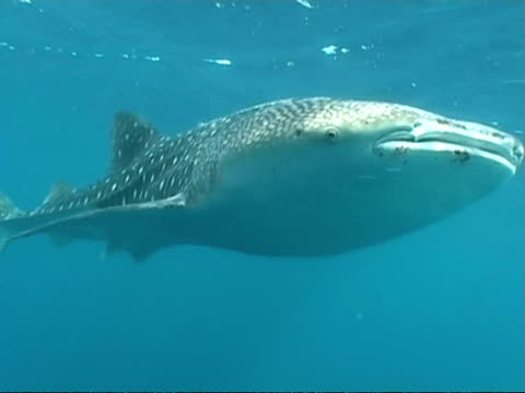vídeos y material grabado en eventos de stock de mcu whale shark (rhincodon typus) swims to and past camera, maldives - patrones de colores