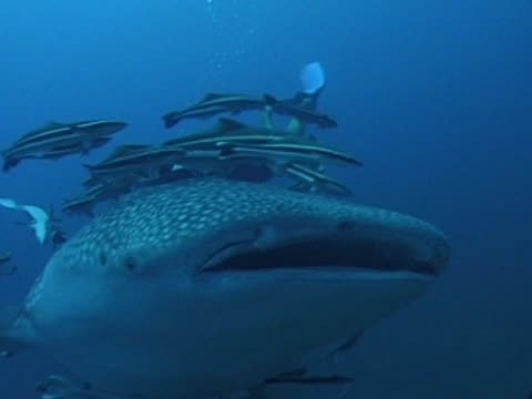 MCU Whale shark swims towards camera, CU of mouth with remoras & divers. Thailand, Malaysia