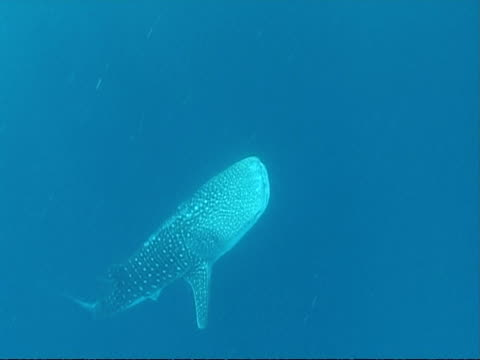 vídeos y material grabado en eventos de stock de ms whale shark (rhincodon typus) swims up and past camera, maldives - patrones de colores