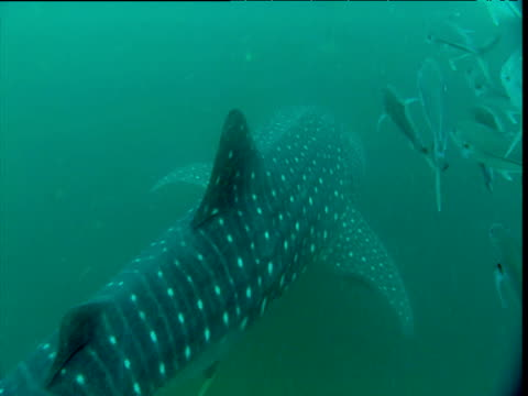 Whale shark swims with shoal of jacks away from camera, Phuket