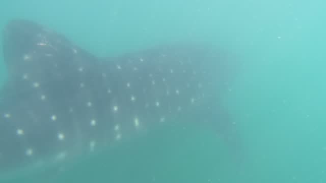 whale shark, the largest fish in the world, swims near the water surface of the gulf of california within the protected area of bahia de la paz. they... - baja california peninsula stock videos & royalty-free footage
