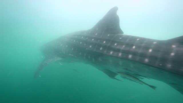 whale shark - james whale stock videos & royalty-free footage