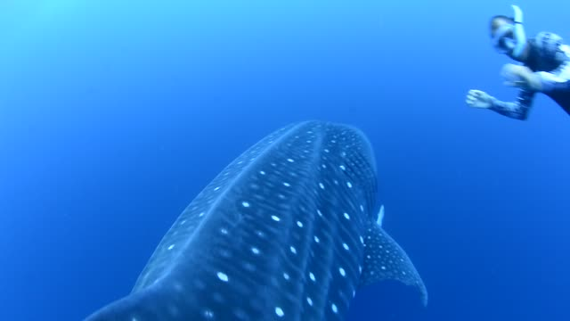 whale shark. - eco tourism stock videos & royalty-free footage