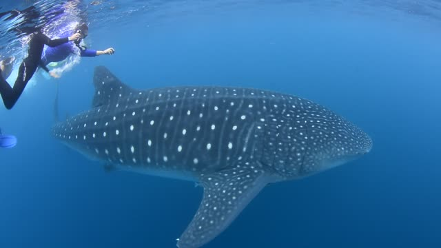 whale shark. - tropical fish stock videos & royalty-free footage