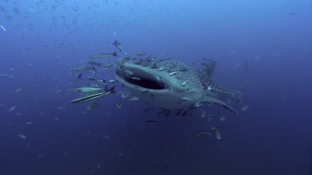 whale shark (rhincodon typus). - school of fish stock videos & royalty-free footage