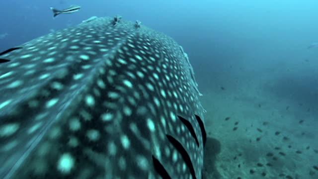 whale shark (rhincodon typus). - walhai stock-videos und b-roll-filmmaterial