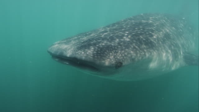 whale shark - james whale stock-videos und b-roll-filmmaterial