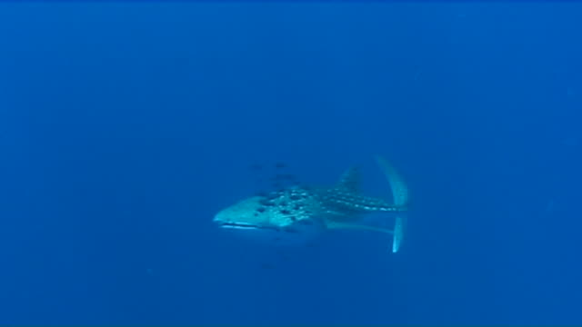 whale shark - pilot fish stock videos & royalty-free footage