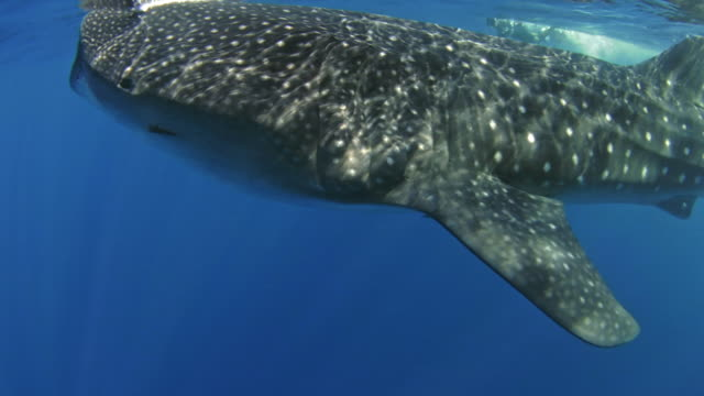 whale shark - cozumel stock videos and b-roll footage