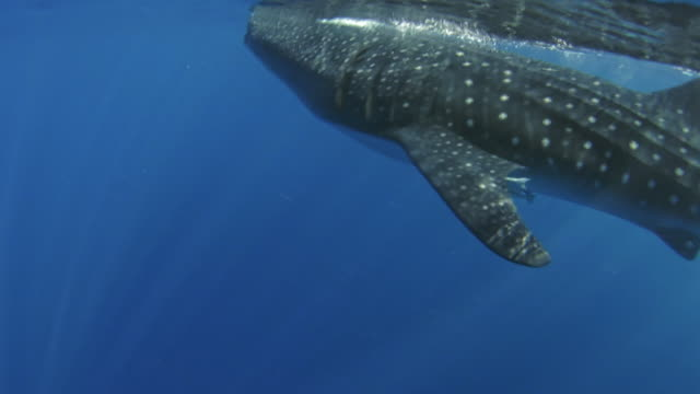 whale shark - audio available stock videos & royalty-free footage