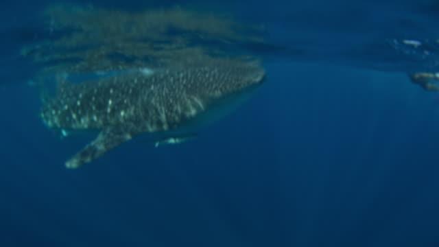 whale shark - yucatan peninsula stock videos and b-roll footage