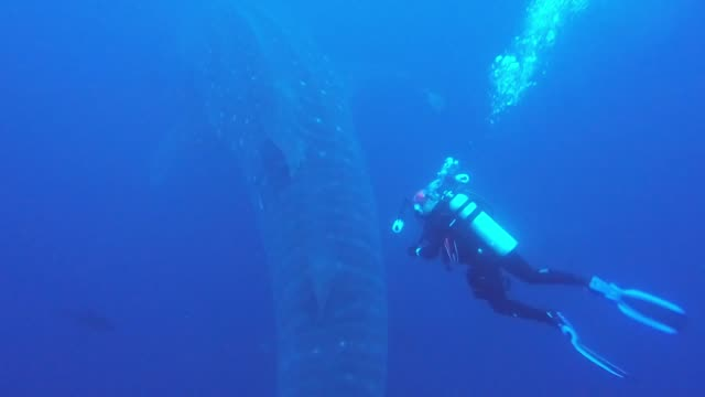 whale sharks are one of the most massive and majestic creatures in the ocean. they are second in size only to a few of the whale species, and they... - majestic stock videos & royalty-free footage