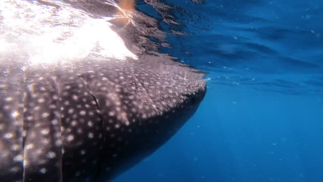 whale sharks are the largest fish in the ocean, growing up to 55 feet in length and weighing upwards of 50,000 pounds. they swim through the oceans... - length stock videos & royalty-free footage