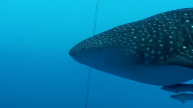Whale Sharks Of Cenderawasih Bay