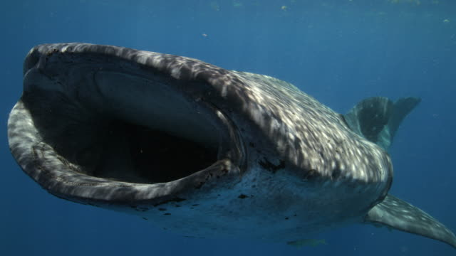 A whale sharks opens wide while feeding on fish eggs