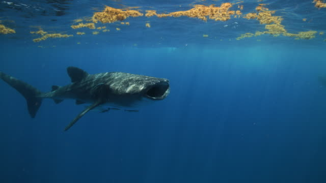 a whale sharks swims by and is feeding just underneath patches of seaweed - walhai stock-videos und b-roll-filmmaterial