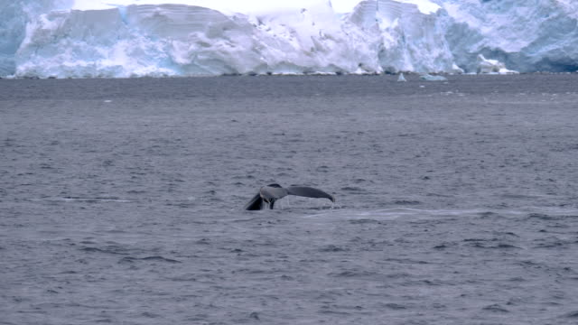 whale showing the tale in antarctica - tail stock videos & royalty-free footage