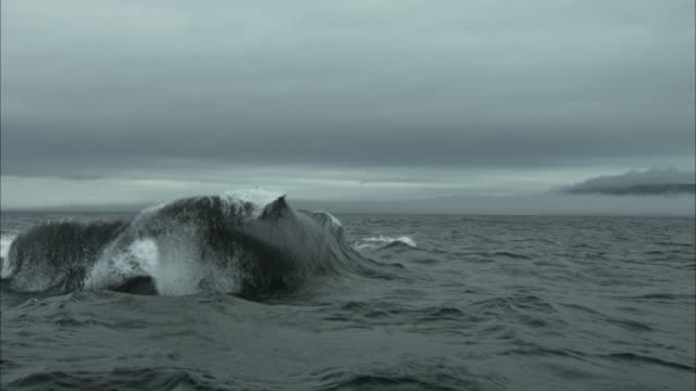 a whale slaps its flukes on the ocean under a gray sky off the coast of newfoundland. - tail fin stock videos & royalty-free footage