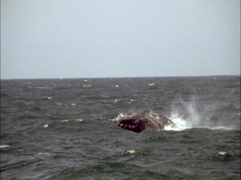 a whale smashes its flukes into the waters of monterey bay. - cetacea stock videos & royalty-free footage