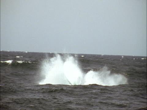 a whale smashes its flukes into the waters of monterey bay. - cetacea bildbanksvideor och videomaterial från bakom kulisserna