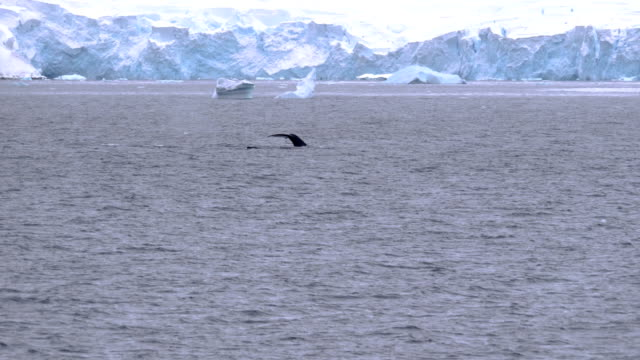 whale submerging and icebergs - cetacea stock videos & royalty-free footage