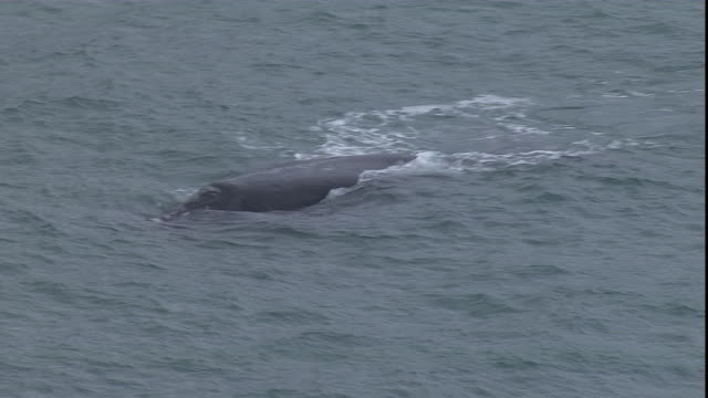 a whale surfaces briefly. - cetacea stock videos & royalty-free footage
