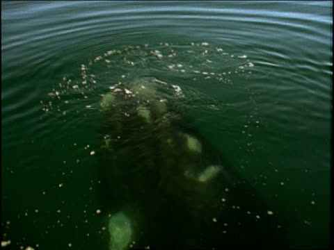 a whale surfaces in the ocean. - seepocke stock-videos und b-roll-filmmaterial