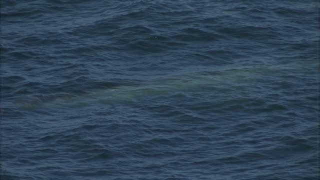 vidéos et rushes de a whale swims just below the surface of rippling waves. - cétacé