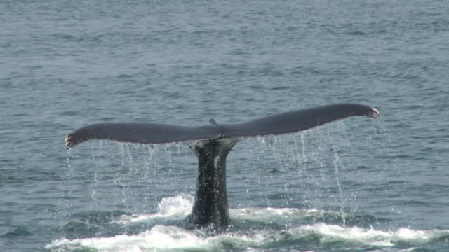 whale tail - minke whale stock videos & royalty-free footage