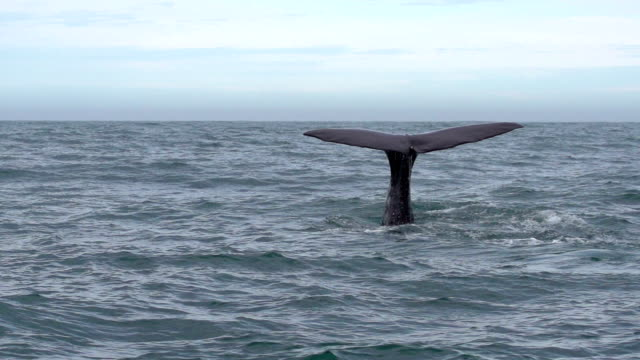 stockvideo's en b-roll-footage met slow motion: whale tail - staartjes