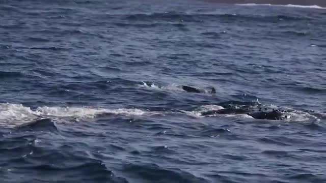 whale watchers in sydney, australia, were gifted some early season drama when humpback whales were spotted breaching in the waters of botany bay on... - southern hemisphere stock videos & royalty-free footage