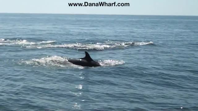 whale watchers were treated to an amazing sight when they came across a pod of false killer whales off dana point, california. the whales were... - false killer whale stock videos & royalty-free footage