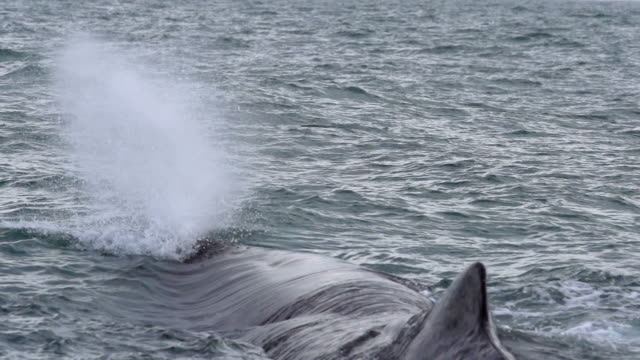 slow motion: whale water spouting - sperm whale stock videos & royalty-free footage