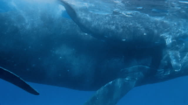 vidéos et rushes de cu, whale with calf swimming together - nageoires